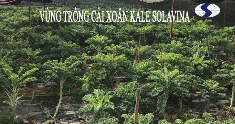 svn-vung-trong-cai-kale-1